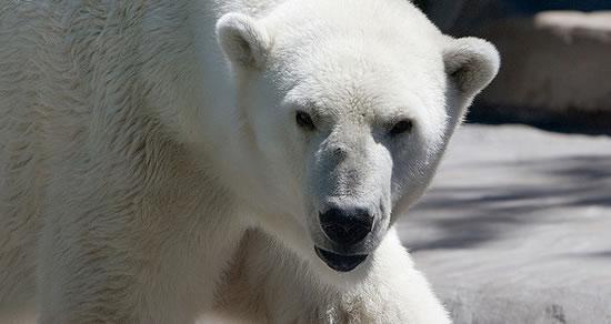 Polar-bear-day
